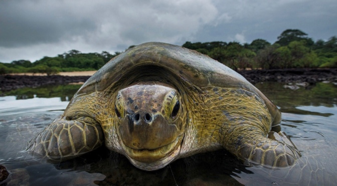 Guinea Bissau has five of seven species of sea turtle in the world|Nobalur