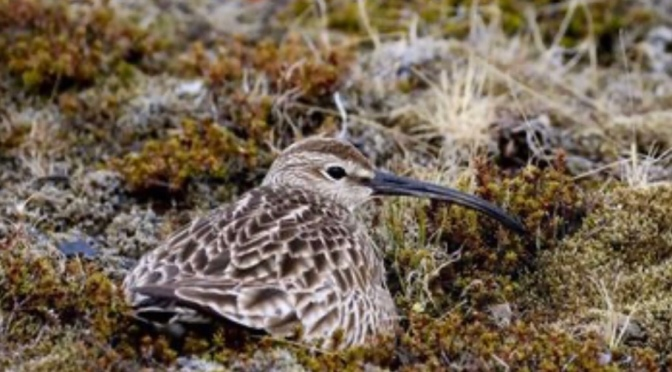 The bird that flies from Iceland to Guinea-Bissau without eating or drinking | Nobalur
